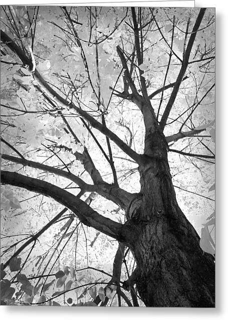 Black And White Autumn Tree  Greeting Card by James BO  Insogna