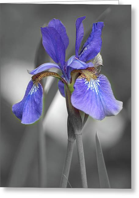 Greeting Card featuring the photograph Black And White Blue Bearded Iris by Brenda Jacobs