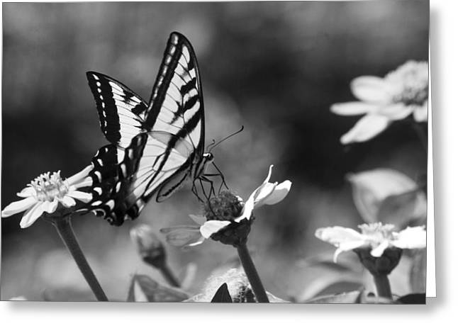 Black And White Butterfly On Flower Greeting Card by Jim and Emily Bush