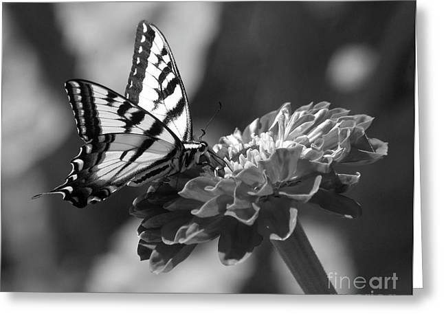 Black And White Butterfly On Zinnia Greeting Card by Jim and Emily Bush