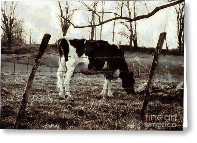 Black And White - Cow In Pasture - Vintage Greeting Card