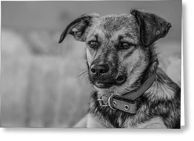 Black And White Dog Portrait Greeting Card by Daniel Precht