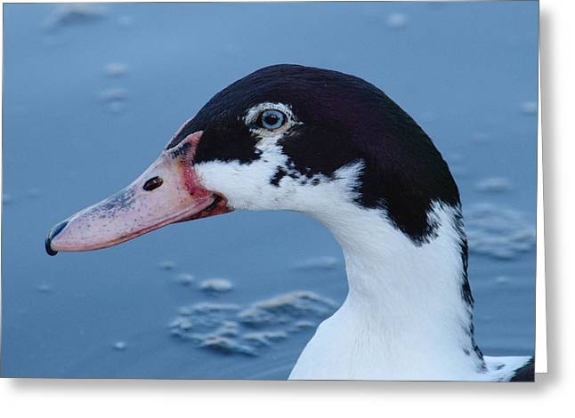 Black And White Duck Portrait Greeting Card by Adrian Wale