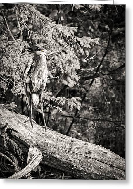 Black And White Great Blue Heron 2013-1 Greeting Card