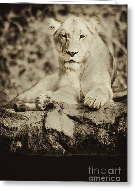 Black And White Lioness Greeting Card by Stephanie Hayes