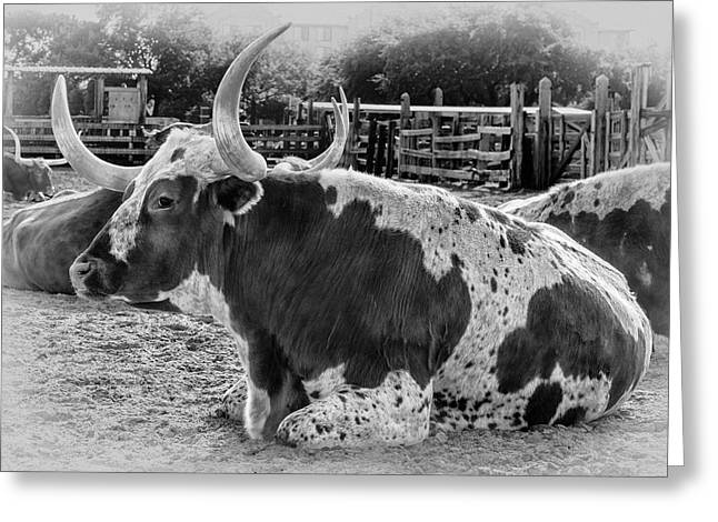 Black And White Longhorn Greeting Card by Kelley King