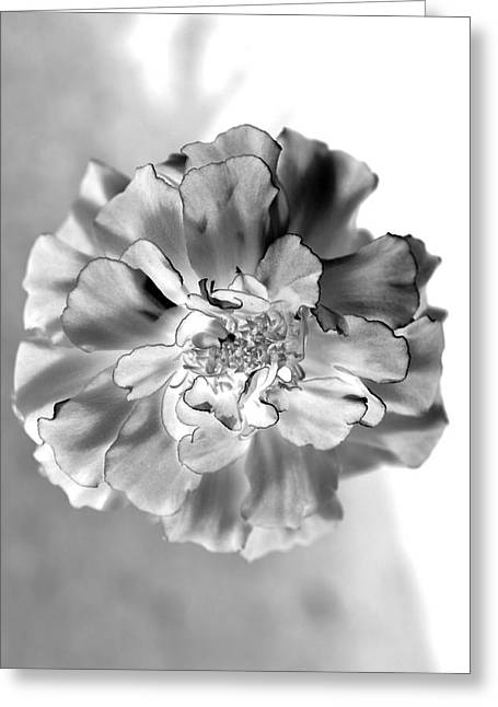 Black And White Marigold Greeting Card by Christine Ricker Brandt