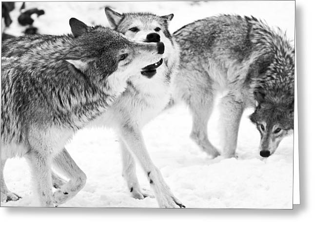 Black And White Of Three Wolves At Play Greeting Card by Melody Watson