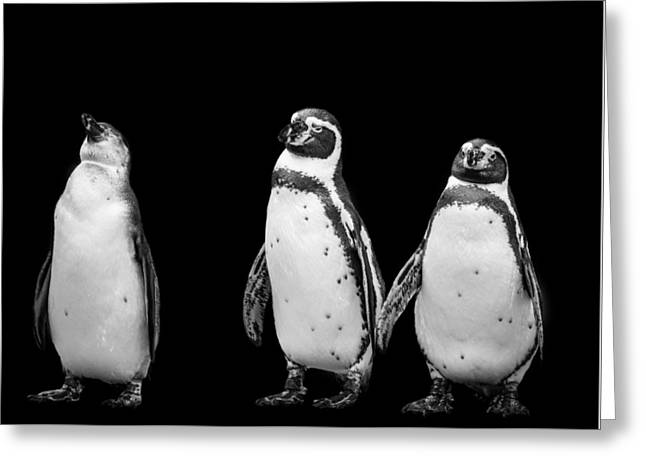 Black And White Photograph Of Three Penguins Greeting Card by Preston McCracken