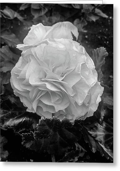 Black And White Rose Greeting Card by Britten Adams