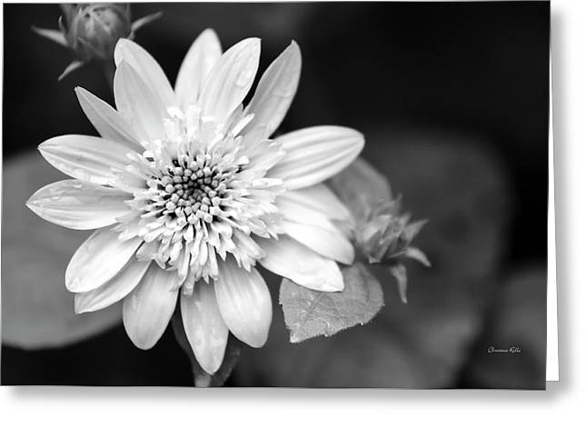 Greeting Card featuring the photograph Black And White Sunrise Coreopsis by Christina Rollo