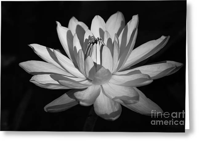 Black And White Waterlily Greeting Card by Liesl Walsh
