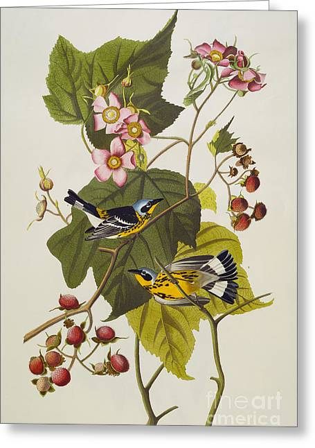 Black Drawings Greeting Cards - Black And Yellow Warbler Greeting Card by John James Audubon