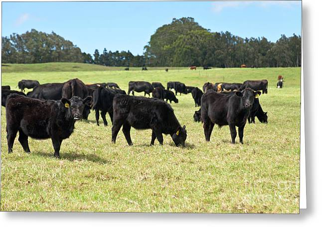 Black Angus Steers Greeting Card by Inga Spence