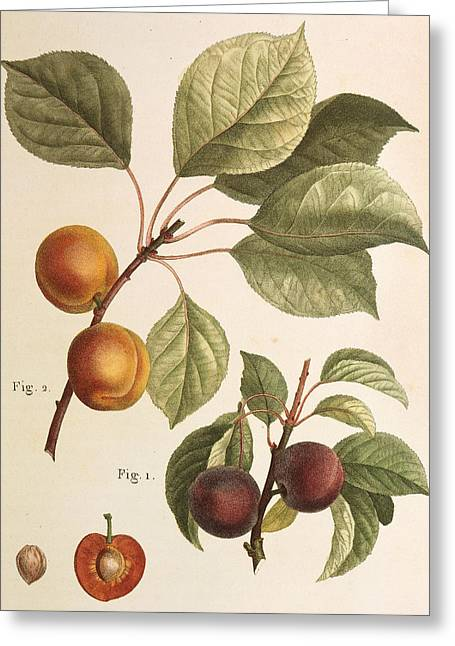 Black Apricot And Apricot Plants Greeting Card by Pierre Joseph Redoute