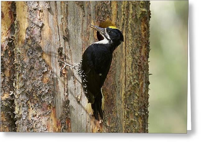 Black-backed Woodpecker Greeting Card by Doug Herr