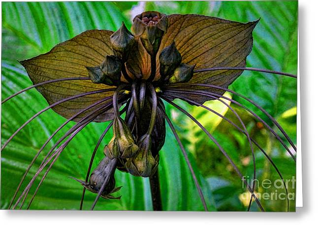 Black Bat Orchid Greeting Card by Sue Melvin