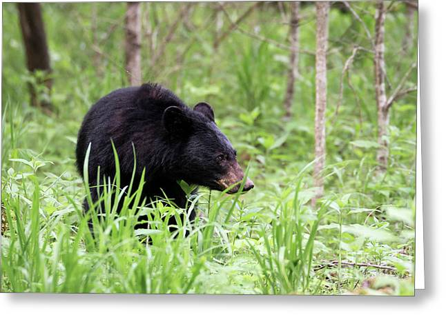 Greeting Card featuring the photograph Black Bear by Andrea Silies