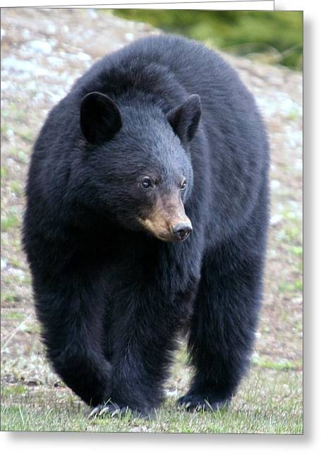 Black Bear At Banff National Park Greeting Card