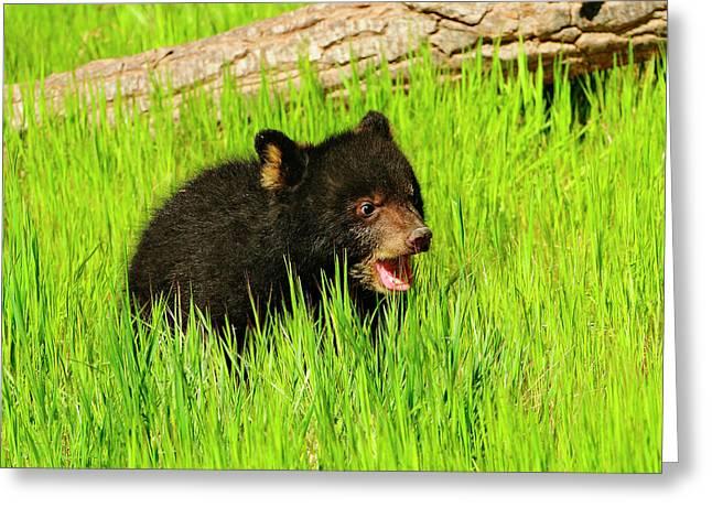 Black Bear Cub Greeting Card by Dennis Hammer