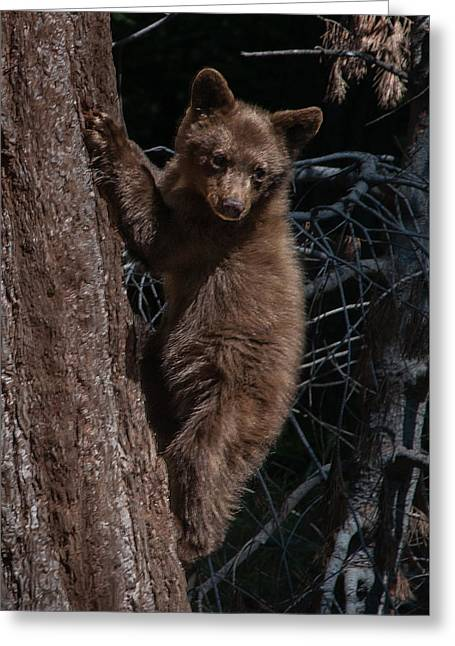 Black Bear Cub Sequoia National Park Greeting Card