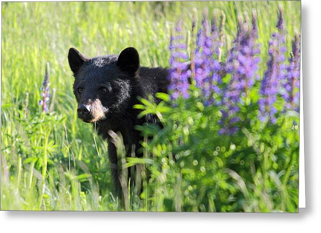 Black Bear Hiding Behind Lupines Greeting Card by Pierre Leclerc Photography