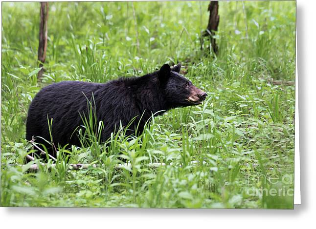 Greeting Card featuring the photograph Black Bear In The Woods by Andrea Silies