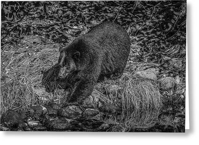 Black Bear Salmon Seeker Greeting Card