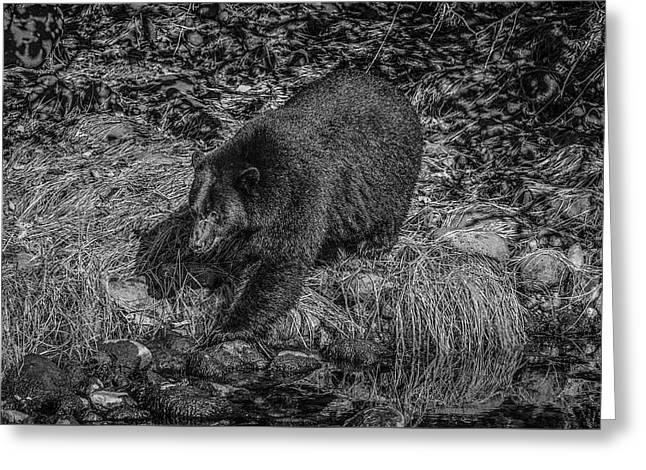 Black Bear Salmon Seeker Greeting Card