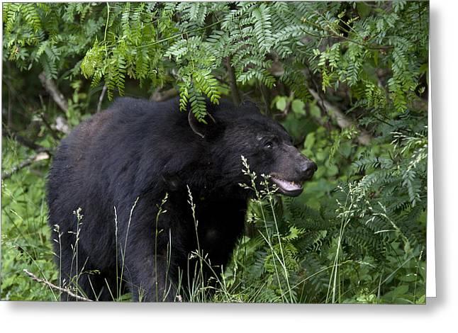 Black Bear Greeting Card by Tina B Hamilton