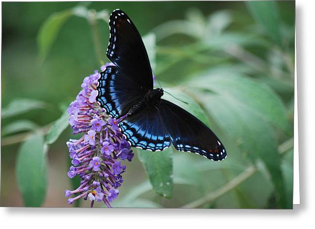 Black Beauty Greeting Card by Lori Tambakis