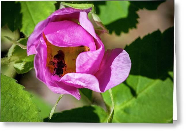 Greeting Card featuring the photograph Black Bee Collecting Pollen by Darcy Michaelchuk
