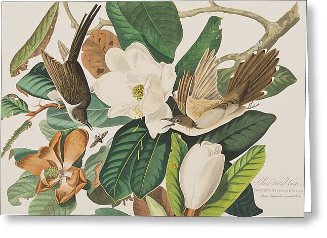 Black Billed Cuckoo Greeting Card by John James Audubon