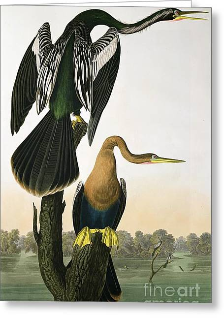Black Drawings Greeting Cards - Black Billed Darter Greeting Card by John James Audubon