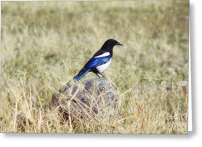 Black-billed Magpie Greeting Card by Janie Johnson