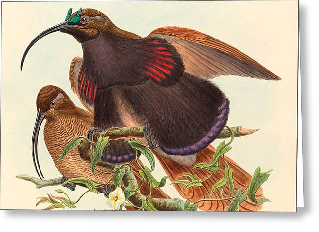 Black-billed Sicklebill Bird Of Paradise Greeting Card by John Gould