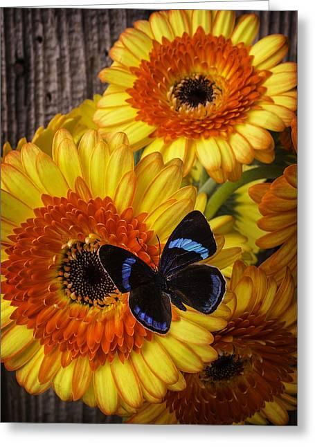 Black Blue Butterfly On Germini Gerbera Greeting Card by Garry Gay