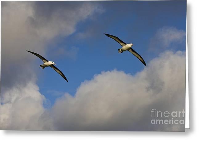 Black-browed Albatrosses Greeting Card by Jean-Louis Klein & Marie-Luce Hubert