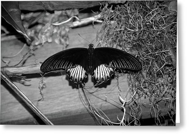 Black Butterfly In Black And White Greeting Card