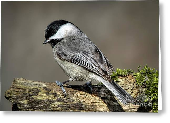 Black-capped Chichadee Greeting Card