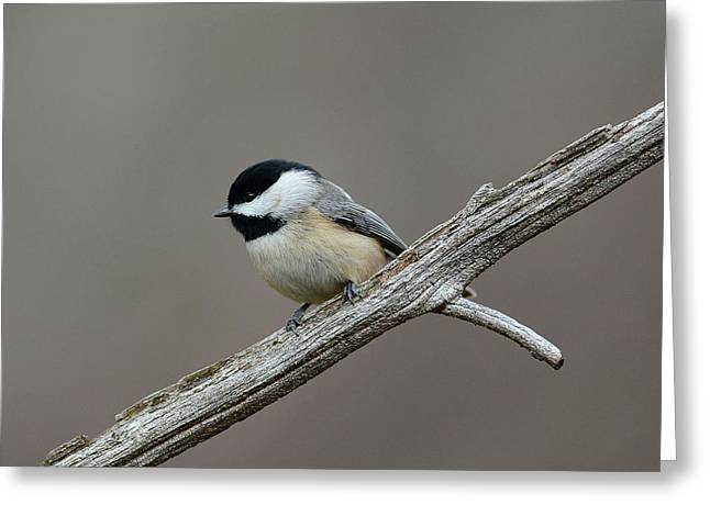 Black Capped Chickadee 1 Greeting Card by Todd Hostetter