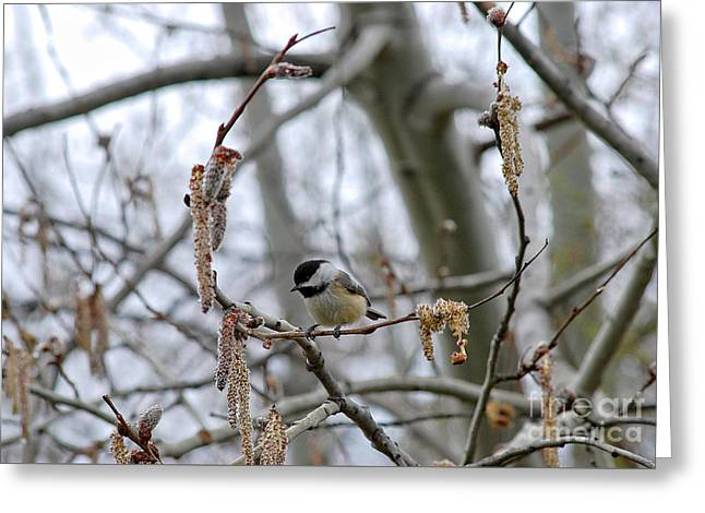 Greeting Card featuring the photograph Black-capped Chickadee 20120321_38a by Tina Hopkins