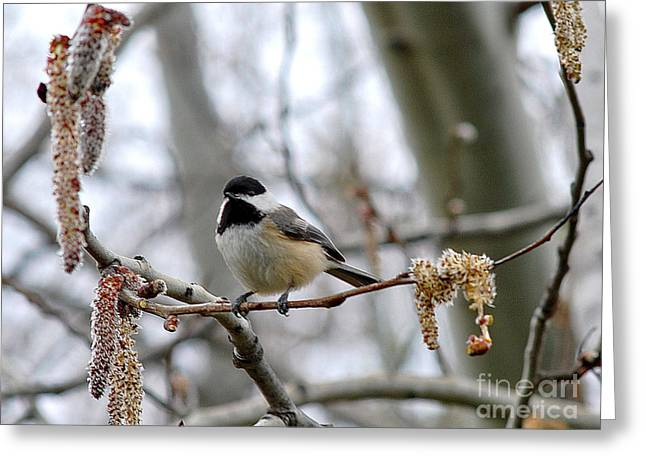Greeting Card featuring the photograph Black-capped Chickadee 20120321_39a by Tina Hopkins