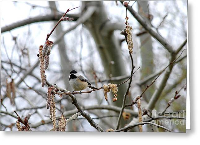 Greeting Card featuring the photograph Black-capped Chickadee 20120321_39b by Tina Hopkins