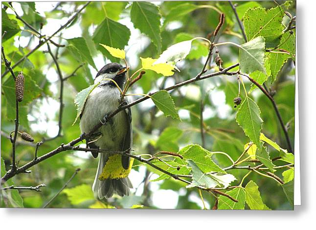 Greeting Card featuring the photograph Black Capped Chickadee  by Angie Rea