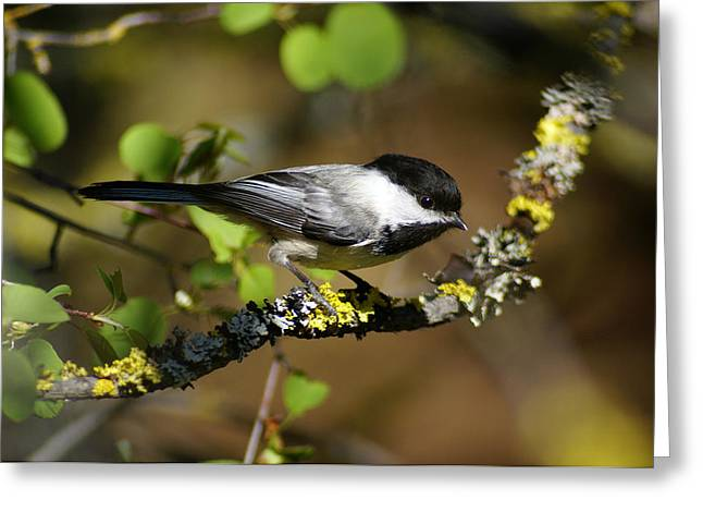 Black-capped Chickadee Greeting Card by Ben Upham III