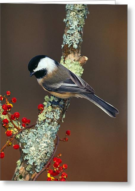 Black-capped Chickadee Bird On Tree Greeting Card
