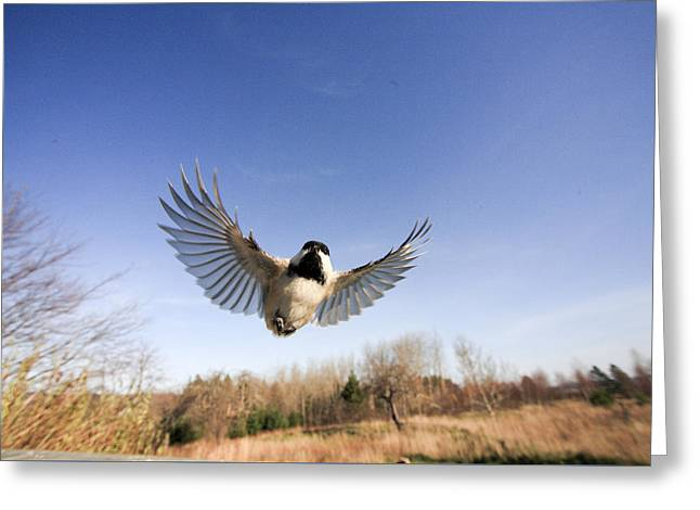 Black-capped Chickadee In Wide Angle Flight Greeting Card
