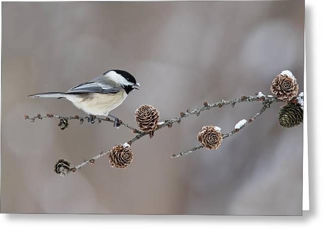 Greeting Card featuring the photograph Black-capped Chickadee by Mircea Costina Photography