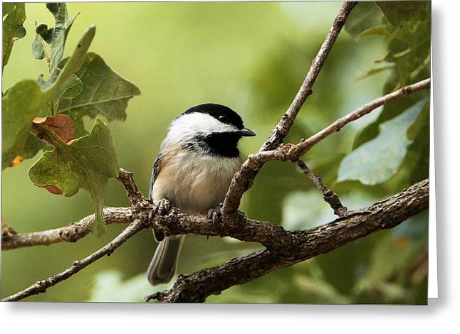 Black Capped Chickadee On Branch Greeting Card